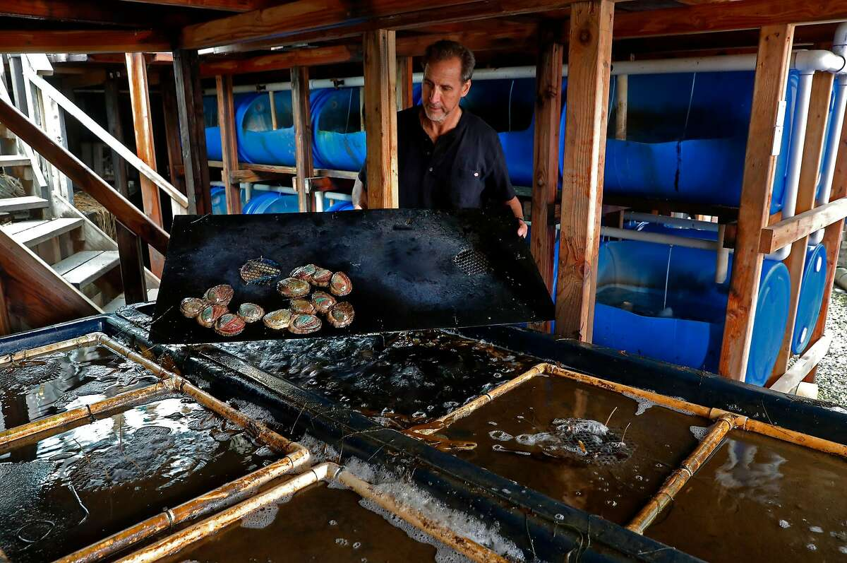 Owner Tom Ebert with abalone that is ready to be harvested after two and a half years of growth in tanks, at the American Abalone Farms on Thurs. July 27, 2017 in Davenport, Ca.