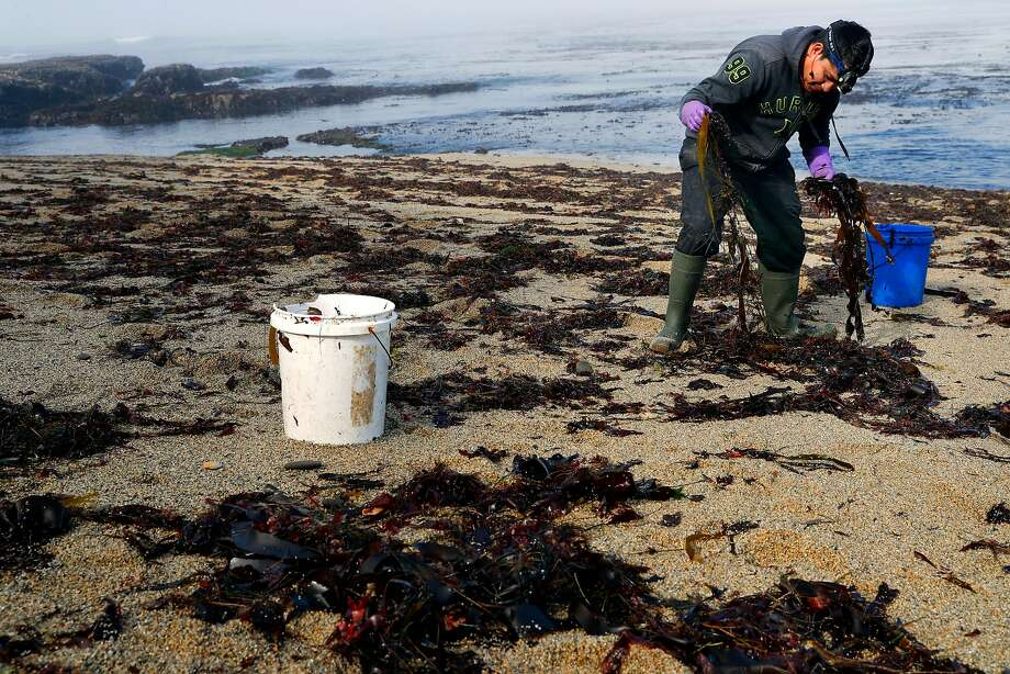 Raymundo Vargas gathers kelp that has washed ashore just below American Abalone Farms in Davenport (Santa Cruz County). Photo: Michael Macor, The Chronicle