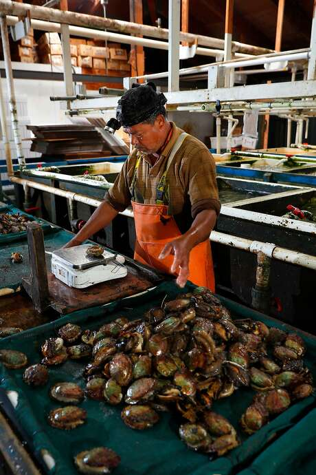 Jose Vasquez sorts harvested abalone at American Abalone Farms in Davenport (Santa Cruz County). Photo: Michael Macor, The Chronicle