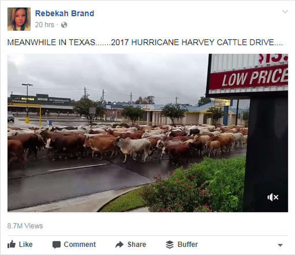texas woman captures large cattle drive during hurricane harvey