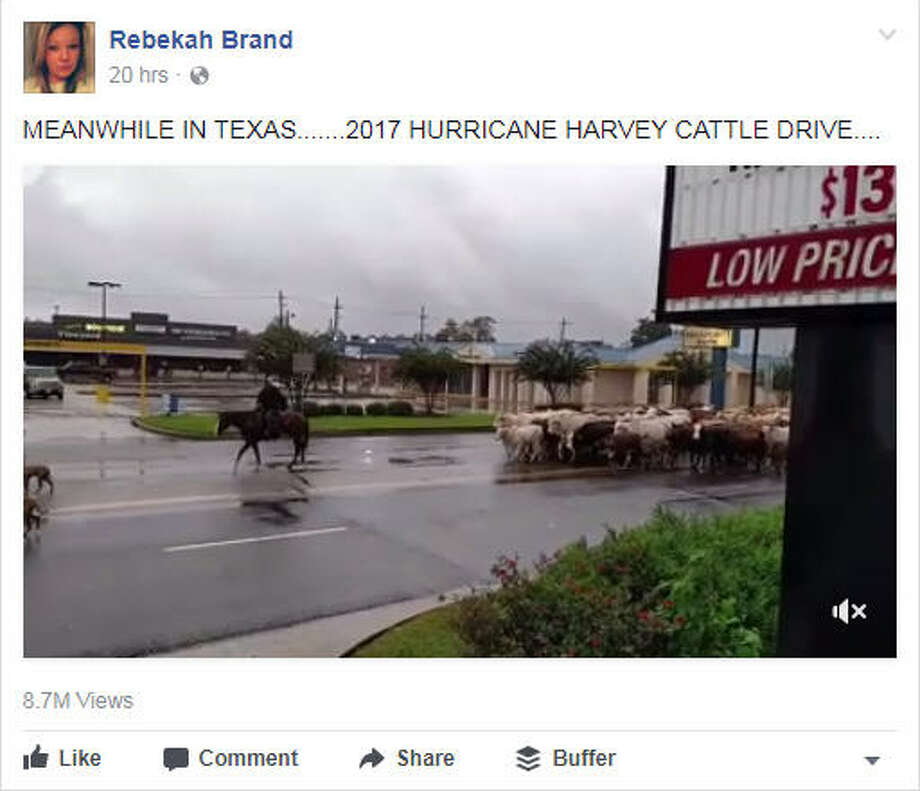 Police are seen escorting cattle in a Texas town due to Hurricane Harvey.Image source: Facebook Photo: Rebekah Brand