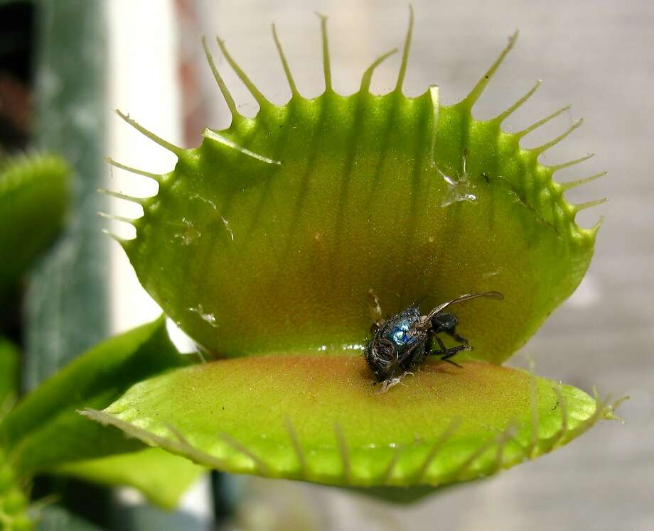 Dionaea, aptly known as Venus flytrap, with a fly. Photo: WikiCommons