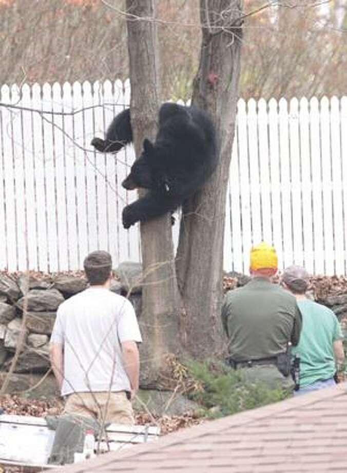 """SONJA ZINKE/Register CitizenA 250 pound bear slides slowly down a tree for a soft landing under the watchful eyes of a wildlife Environmental Protection officer and wildlife biologists from the DEP in the back yard of 81 Hillside Avenue in Winsted Tuesday afternoon. Purchase a glossy print of this photo and more at <a href=""""http://www.registercitizen.com"""">www.registercitizen.com</a>"""