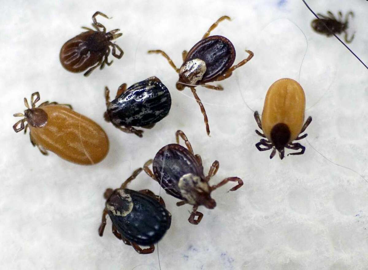 Ticks are displayed during a state Senate hearing on Lyme disease and other tick-borne illnesses on Tuesday, Aug. 29, 2017, in Albany, N.Y.