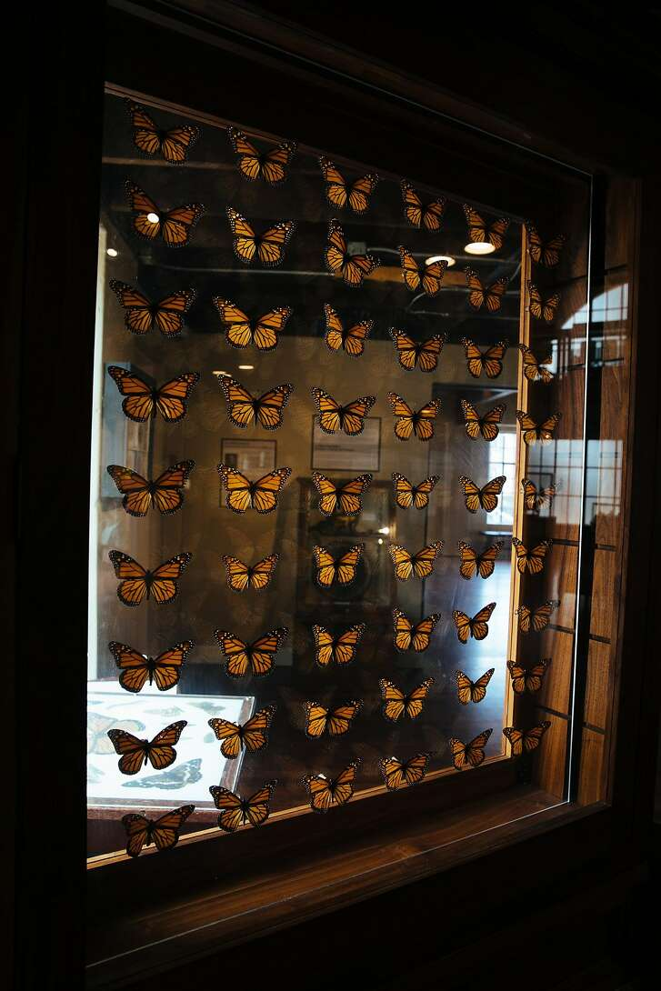 Monarch butterflies are seen on display at the Pacific Grove Museum of Natural History in Pacific Grove, Calif. Thursday, August 24, 2017.
