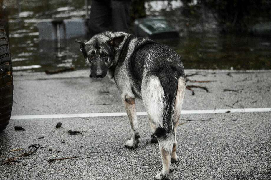 Houston resident Nana Ankamah captured a stunning photo of a German Shepard during Hurricane Harvey as the storm forced the dog's family out of their home. Keep going to see more heart-wrenching photos of animals during Harvey in and around the Houston area. Photo: Nana Ankamah