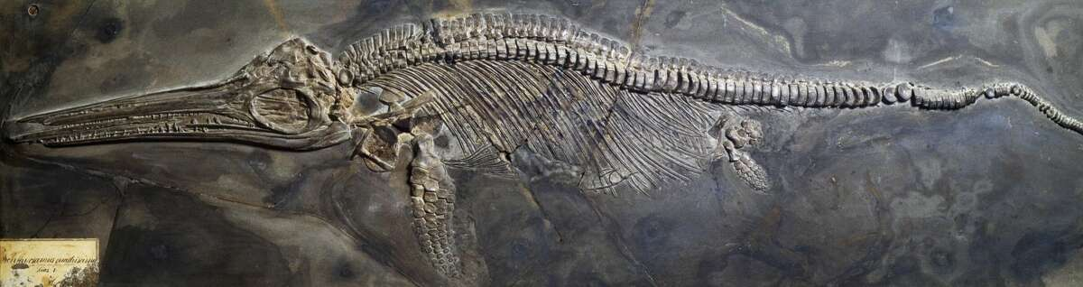 Scientists from Germany and England discovered the largest 'sea dragon' fossil on record sitting in a German museum. Pictured above: An Ichthyosaurus fossil from the Mesozoic Period.