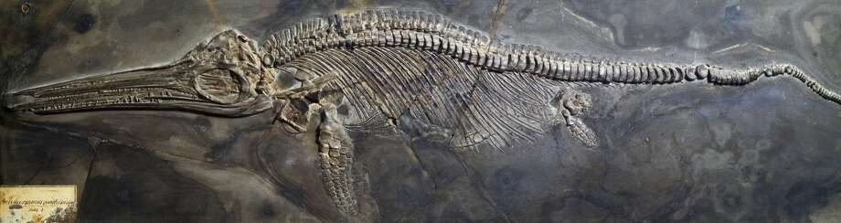 Scientists from Germany and England discovered the largest 'sea dragon' fossil on record sitting in a German museum. Pictured above: An Ichthyosaurus fossil from the Mesozoic Period. Photo: De Agostini Picture Library/De Agostini/Getty Images