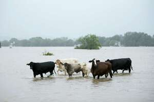 These cattle were spotted Monday stranded in a flooded pasture on Highway 71 in La Grange. Many farmers and ranchers have been unable to get out to find livestock stranded due to Hurricane Harvey.