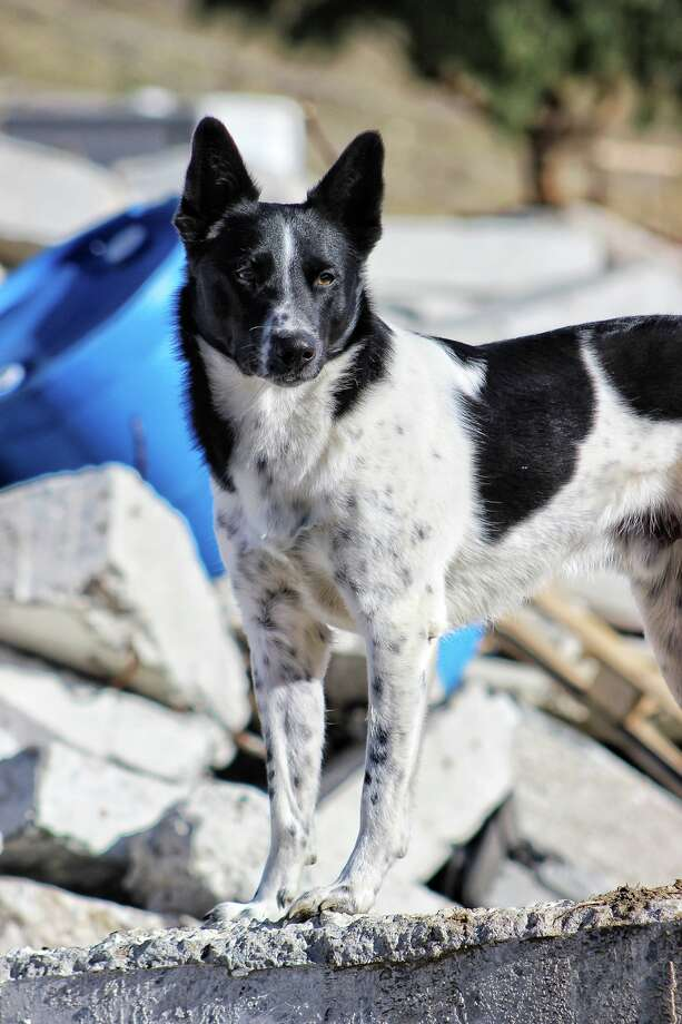 Rocket, who is currently aiding first responders in the wake of Hurricane Harvey, was once on the euthanasia list at a Sacramento shelter. Photo: SDF