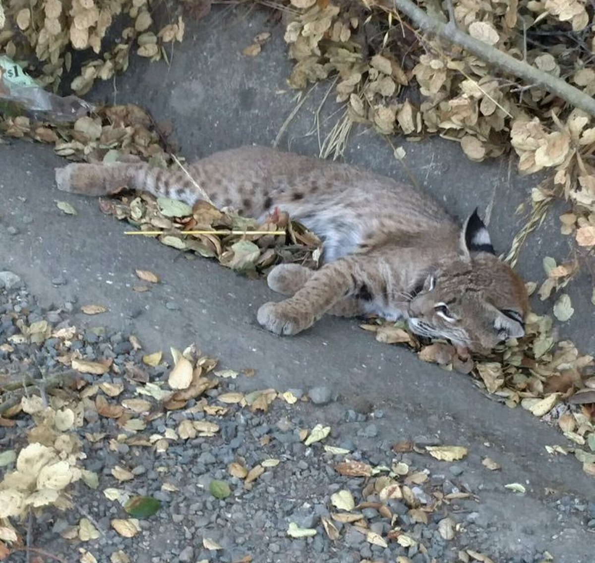 An injured bobcat was rescued by the California Highway Patrol.