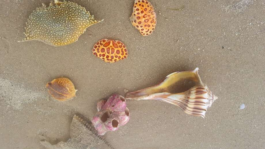Padre Island National Seashore received minimal damage after Hurricane Harvey, spokesman Patrick Gamman said, but colorful, rare seashells and crabs have washed ashore. Photo: Courtesy, National Park Service
