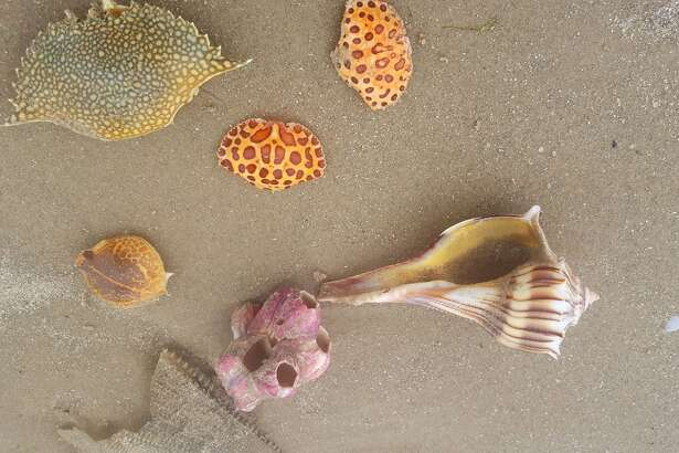 Padre Island National Seashore received minimal damage after Hurricane Harvey, spokesman Patrick Gamman said, but colorful, rare seashells and crabs have washed ashore.