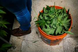 A bucket of trimmed marijuana plants is seen during harvest at Harboside Farms in Salinas, Calif., on Thursday, July 20, 2017.