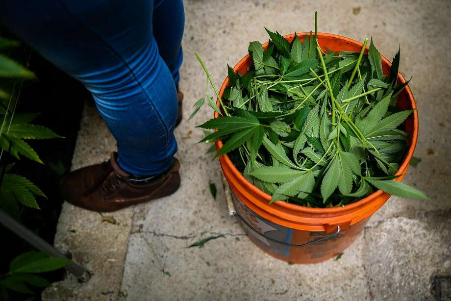 A bucket of trimmed marijuana plants is seen during harvest at Harborside Farms in Salinas. Photo: Gabrielle Lurie, The Chronicle