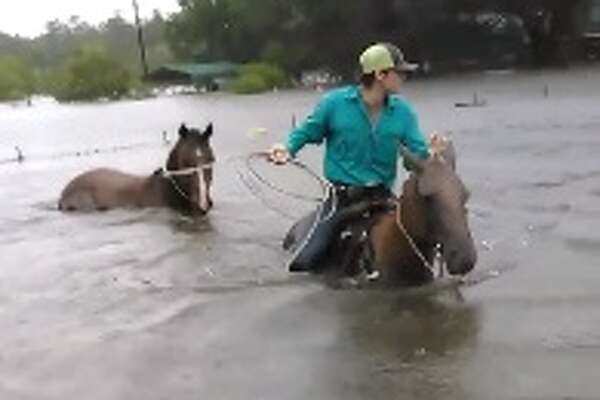 Tarkington native Chance Ward and his 17-year-old son, Rowdy Ward, have been swimming their horses into flood waters in Liberty County since Harvey's rains began, to rescue endangered livestock. Ward said they plan to keep going until they're no longer needed.