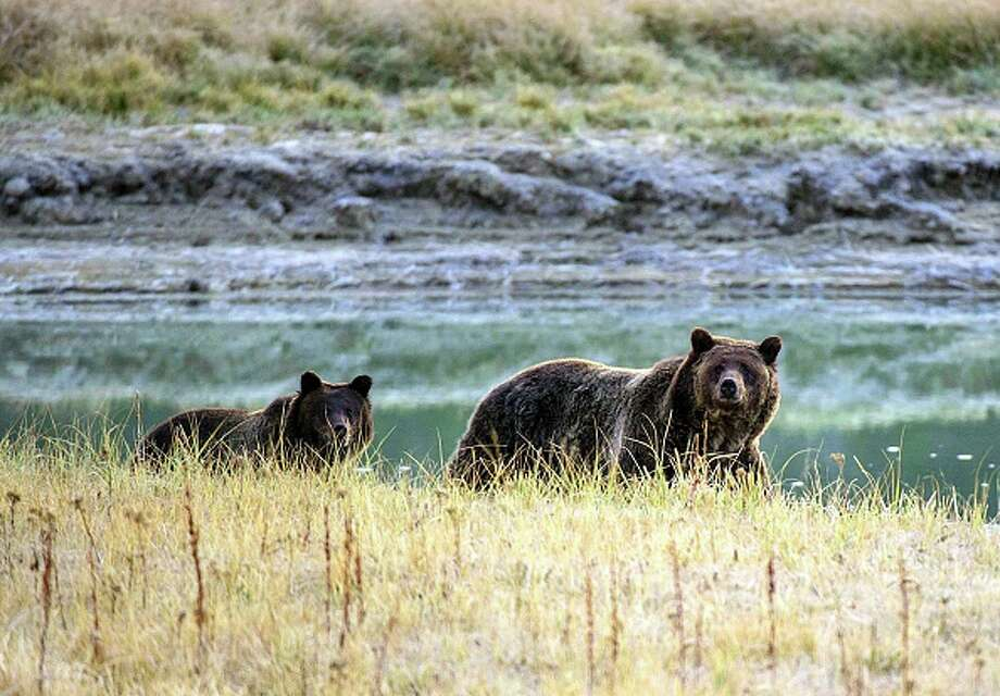 "Wyoming is on track to become the first state in the ""Lower 48"" to allow grizzly bear hunting. Above, A grizzly bear mother and her cub walk near Pelican Creek in the Yellowstone National Park in Wyoming. Photo: KAREN BLEIER/AFP/Getty Images"