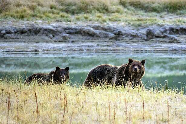 A Grizzly bear mother and her cub walk near Pelican Creek October 8, 2012 in the Yellowstone National Park in Wyoming.Yellowstone National Park is America's first national park. It was established in 1872. Yellowstone extends through Wyoming, Montana, and Idaho.