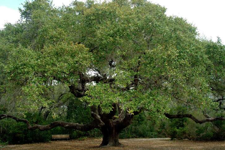 The Big Tree is shown before taking a hit from Hurricane Harvey, left, and then afterward when the coastal live oak at Goose Island State Park suffered some damage but survived. Many trees at the park near Rockport weren't as fortunate.
