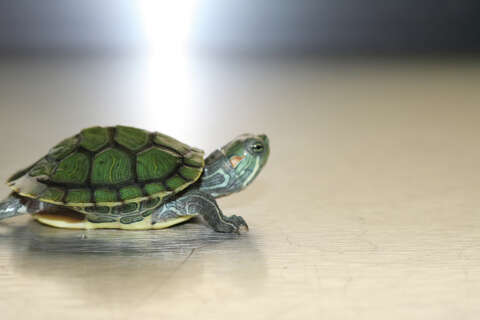 Three In Connecticut Sickened By Turtles Laredo Morning Times