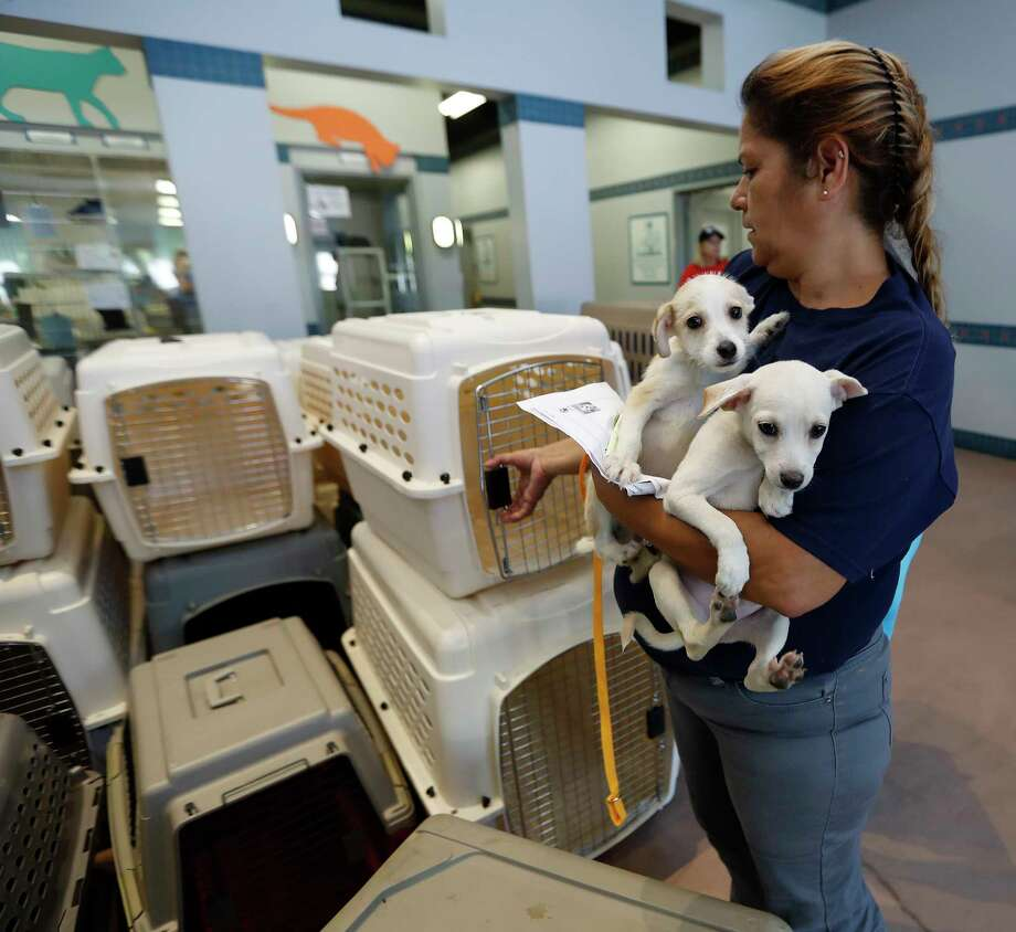 SPCA employee Rebecca Rodriguez loads up two puppies, as employees and volunteers of the Houston SPCA load up more than 100 adoptable dogs and cats into a truck with the help of the Austin Humane Society and others, Thursday, Aug. 31, 2017, in Houston, to be sent to Atlanta, to make room for an onslaught of animal Tropical Storm Harvey victims. Photo: Karen Warren, Houston Chronicle / @ 2017 Houston Chronicle