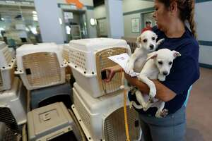 SPCA employee Rebecca Rodriguez loads up two puppies, as employees and volunteers of the Houston SPCA load up more than 100 adoptable dogs and cats into a truck with the help of the Austin Humane Society and others, Thursday, Aug. 31, 2017, in Houston, to be sent to Atlanta, to make room for an onslaught of animal Tropical Storm Harvey victims.