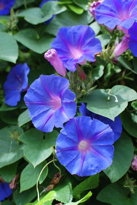 There are several types of morning glories and relatives that run rampant over landscapes once they get a good start. Sprays aren't very effective. Photo: Marcille Magness /Houston Chronicle