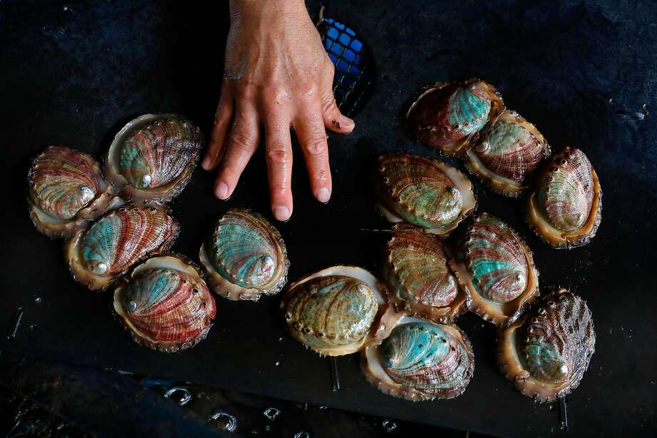 Owner Tom Ebert reaches for an abalone that is ready to be harvested after two and a half years of growth in tanks, at the American Abalone Farms on Thurs. July 27, 2017 in Davenport, Ca. Photo: Michael Macor, The Chronicle