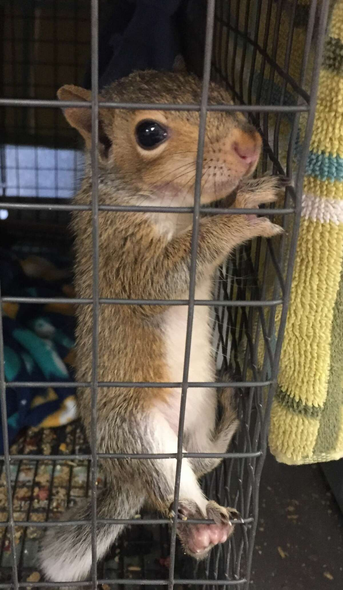 Nearly 100 bushy-tailed babies fell from their arbor nests and landed at the Peninsula Humane Society and SPCA in Burlingame for rehabilitation during the week of Aug. 28.
