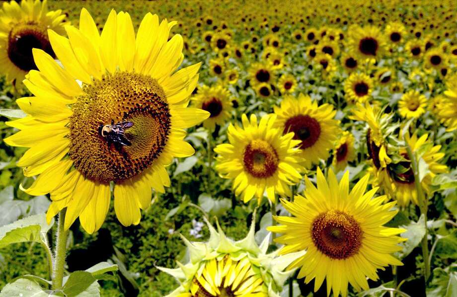 A bee rests upon a sunflower. Photo: Kevin Green /Longview News-Journal / AP / LONGVIEW NEWS-JOURNAL