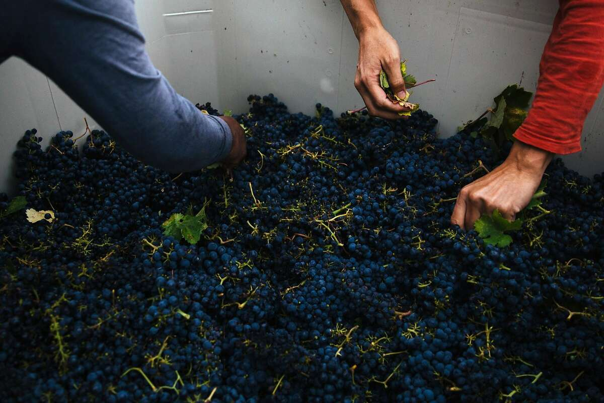 Donato de Jesus, left, and Peter Mork pick out the leaves from the crate at the Limerick Lane Vineyard in Healdsburg, Calif. Tuesday, August 30, 2017.
