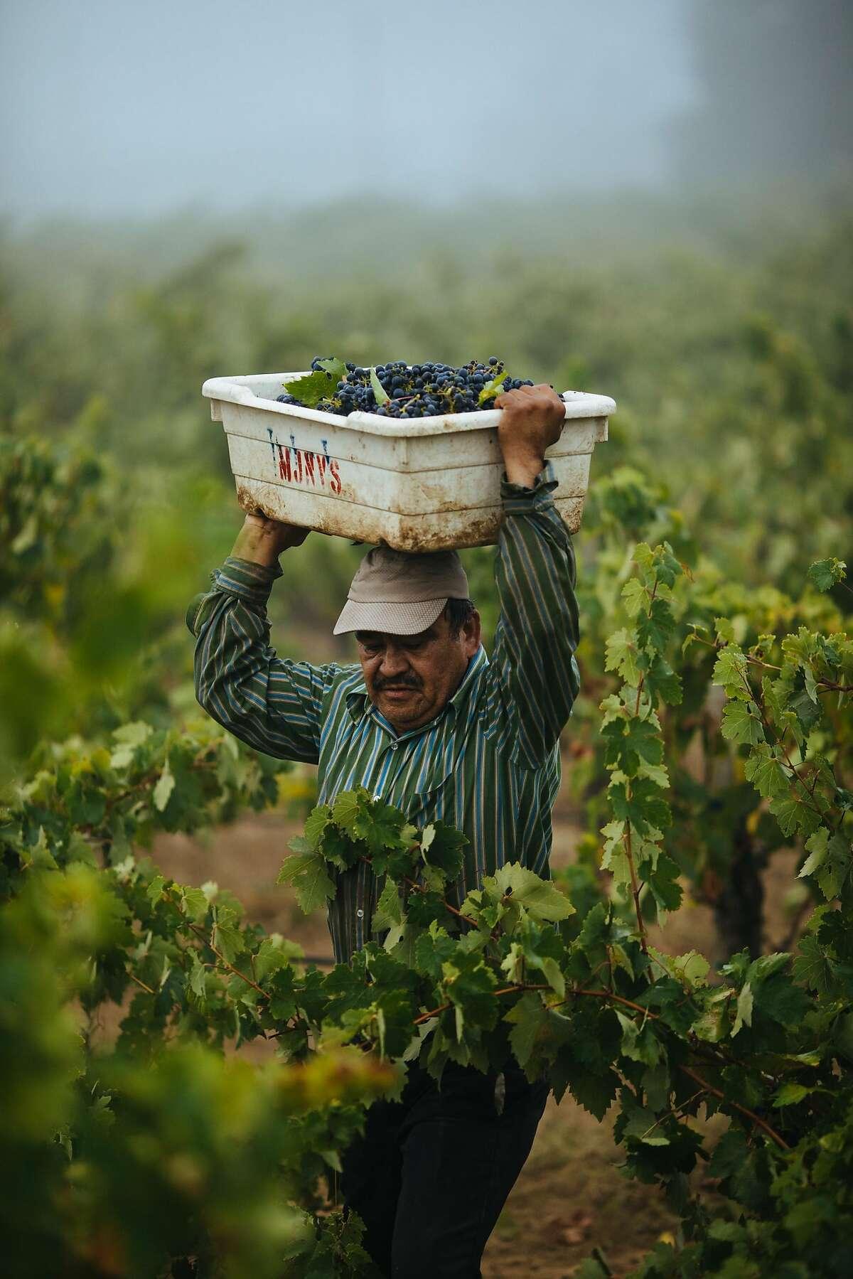 Lucia�o Cornejo balances his bin on his head as he runs through vineyard to drop off his grapes at the Limerick Lane Vineyard in Healdsburg, Calif. Tuesday, August 30, 2017.