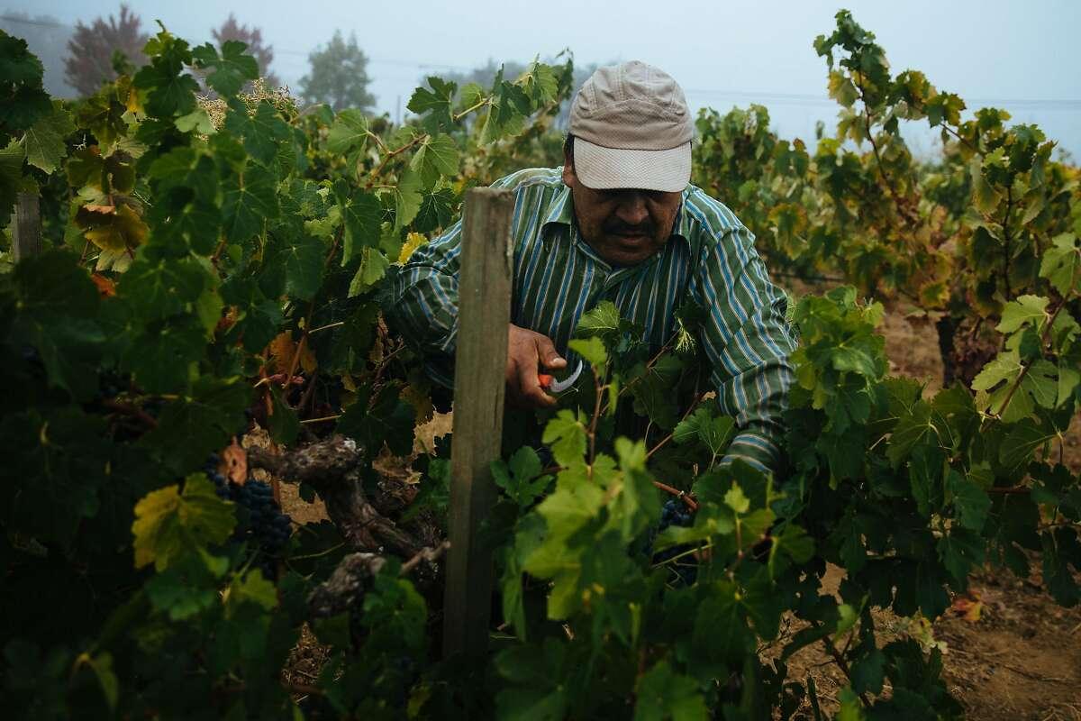 Lucia�o Cornejo picks Zinfandel grapes at the Limerick Lane Vineyard in Healdsburg, Calif. Tuesday, August 30, 2017.