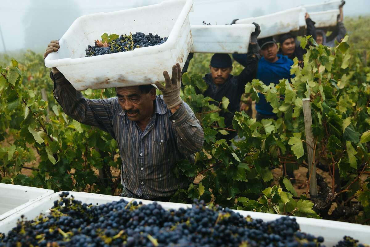 Martin Rangel, left, leads the group of workers to the crate to drop off their grapes at the Limerick Lane Vineyard in Healdsburg, Calif. Tuesday, August 30, 2017.