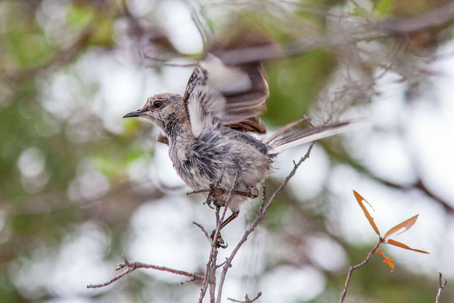 A wet northern mockingbird flutters its wings to remove water.  Birds use a variety of tactics to stay dry and find food during storms. Photo: Kathy_Adams_Clark / Kathy Adams Clark/KAC Productions