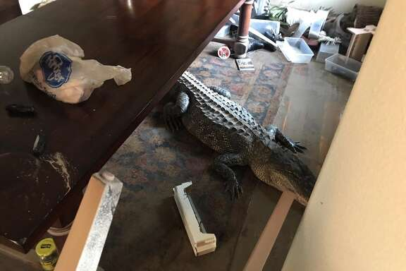 An alligator made its way into a flooded home in the Lake Houston area.
