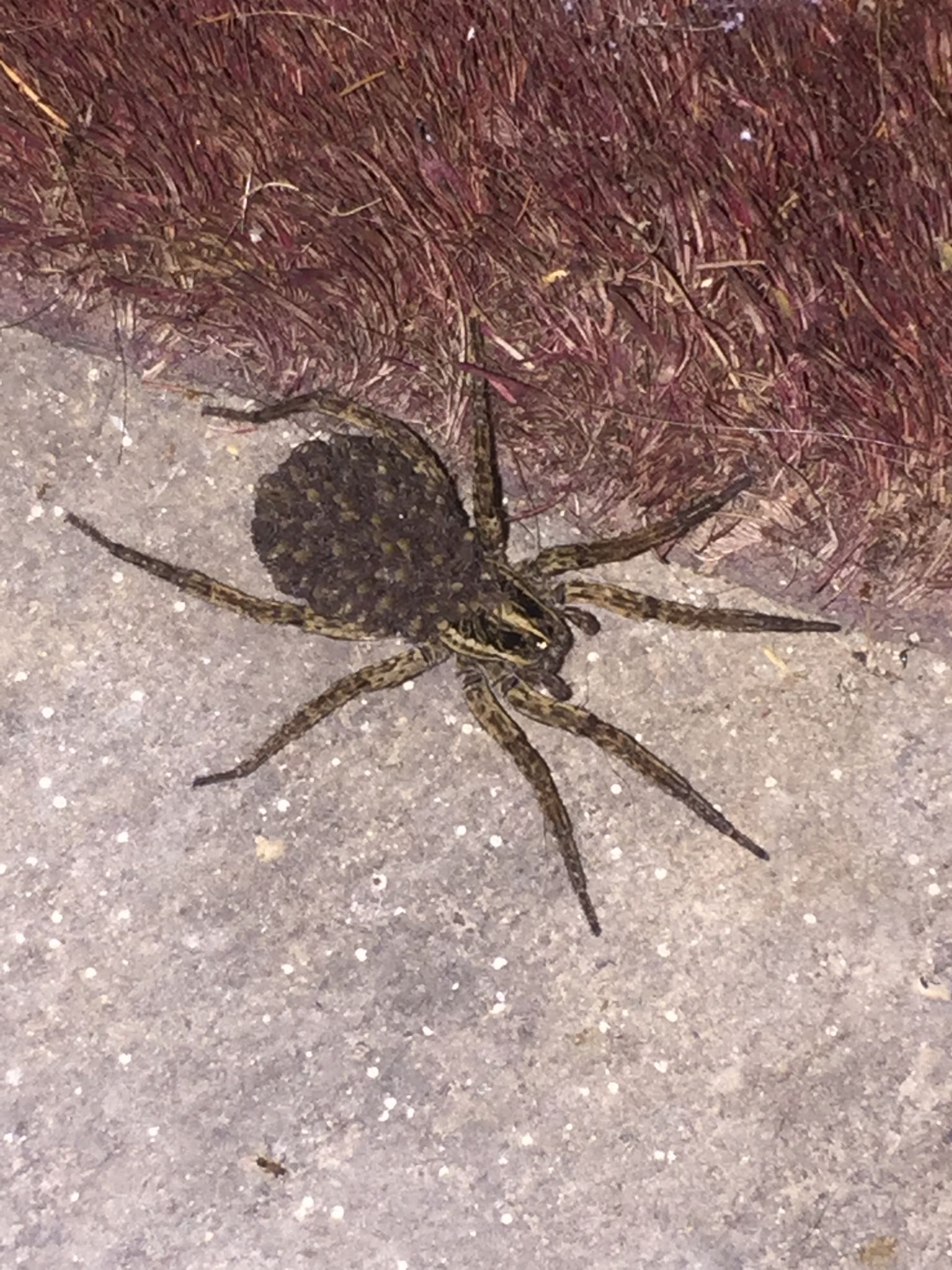 Texas Woman Finds Giant Wolf Spider Outside Her Home After
