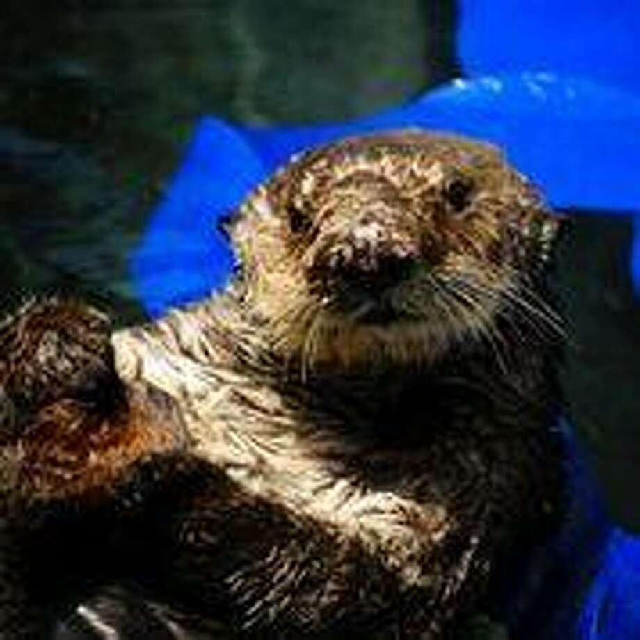 Eight-year-old southern sea otter Otto rests in a pool at The Marine Mammal Center in Sausalito. The male otter, rescued in Morro Bay, is being treated for domoic acid toxicosis.