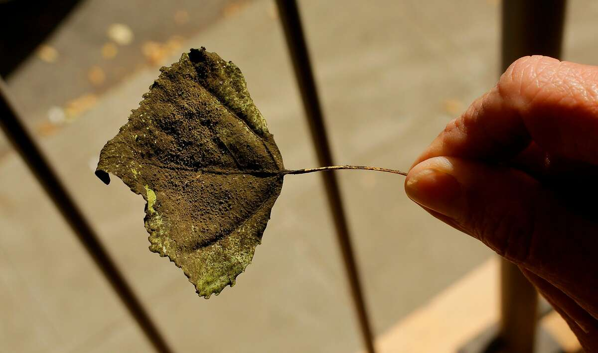 Alice Rodgers displays a soot covered leaf she found near her South Park home San Francisco, Ca., on Tues. August 29, 2017. Rodgers a South Park resident is in a constant battle to keep the area of her shared courtyard and her balcony clean, with all the nearby commute traffic leaving behind soot.