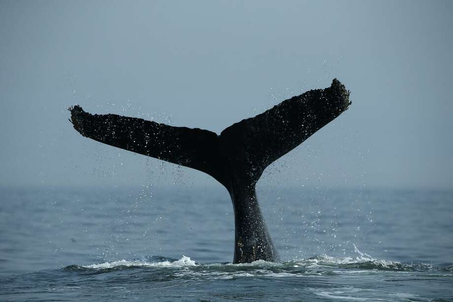 A humpback whale dives off the coast of San Francisco. Photo: Santiago Mejia, The Chronicle
