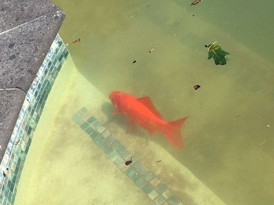 Beautiful koi fish takes refuge from harvey in family s for Koi fish swimming pool
