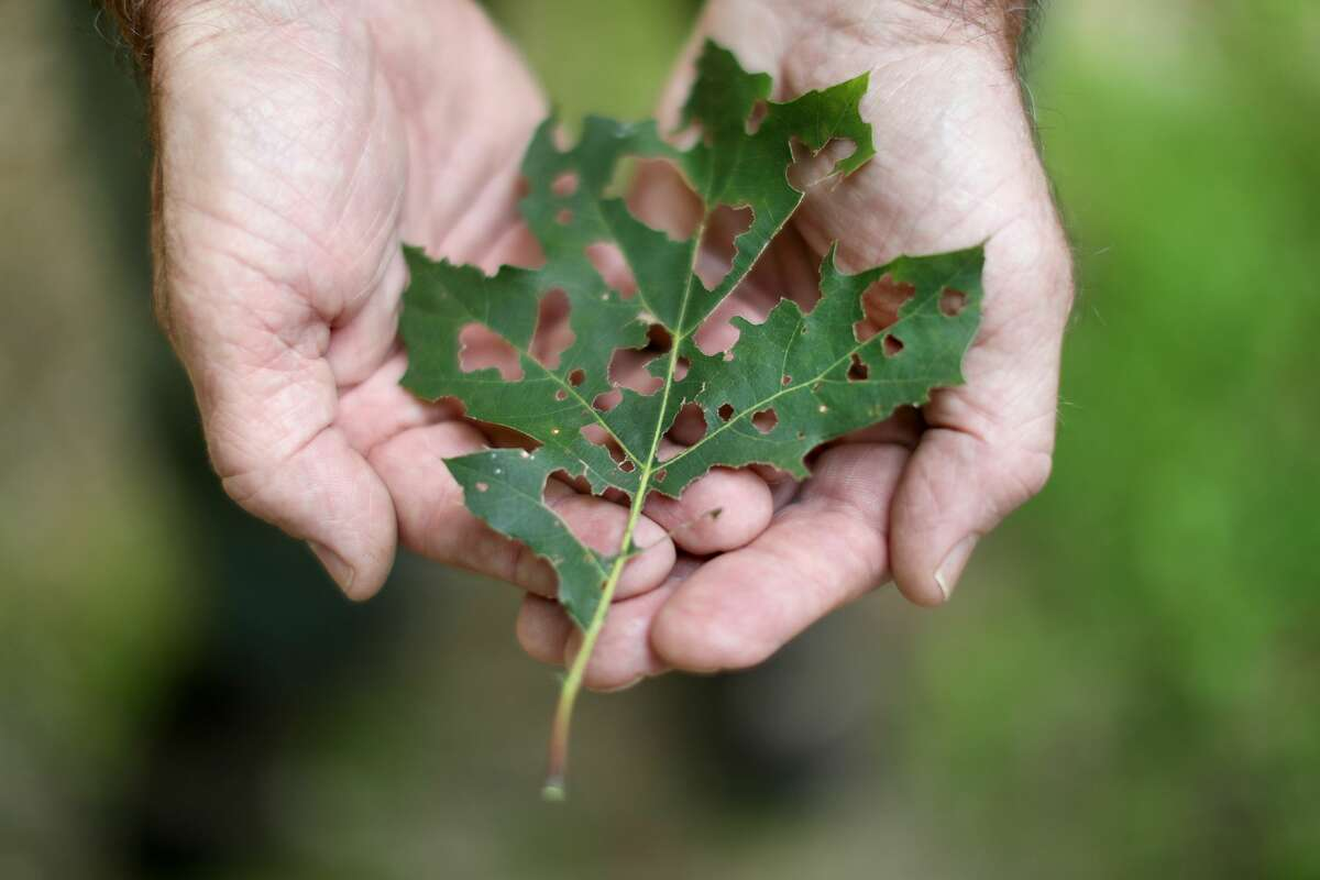 Ken Gooch Forest Health Program Director with the Massachusetts Department of Conservation and Recreation, shows shows a damaged oak leaf in the Wells State Park in Sturbridge, MA on Aug. 30, 2017. Nearly a third of the state's forest canopy has been ravaged this year by a plague of gypsy moth caterpillars, insatiable, finger-long creatures that devour leaves and can ultimately kill trees, state officials said. Background story bu Science Alert: Massachusetts Is Being Swallowed by Millions of Hungry Caterpillars