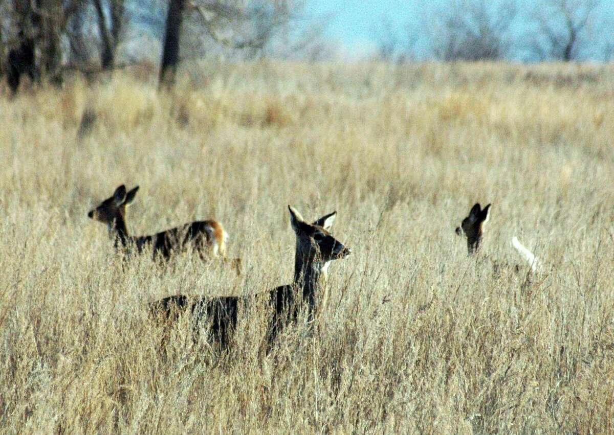 FILE - In this April 19, 2012, file photo deer walk in a field near Bismarck, N.D. New York wildlife managers tasked with curbing the spread of a fatal brain disease have proposed a ban on deer urine used by hunters to lure their prey but manufacturers of bottled deer urine say there's not enough evidence to shut down an industry and deny hunters products they've been using for decades. (Brian Gehring/Bismarck Tribune via AP, File) ORG XMIT: NDBIS501