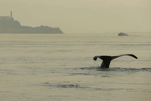 A humpback whale dives near Alcatraz Island on Saturday, Sept. 2, 2017, in San Francisco, Calif.