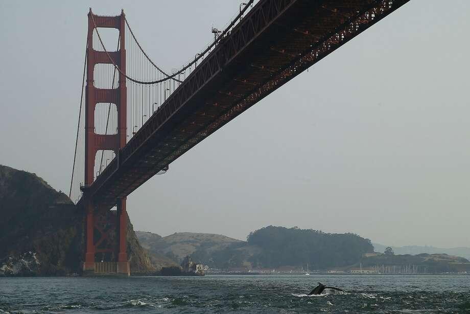 A humpback whale dives under the Golden Gate Bridge. Photo: Santiago Mejia, The Chronicle