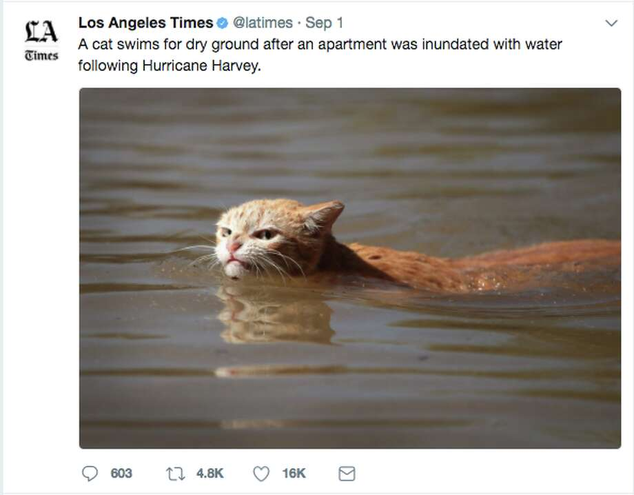 920x920 photo of 'angry' cat in harvey floodwaters sparks memes