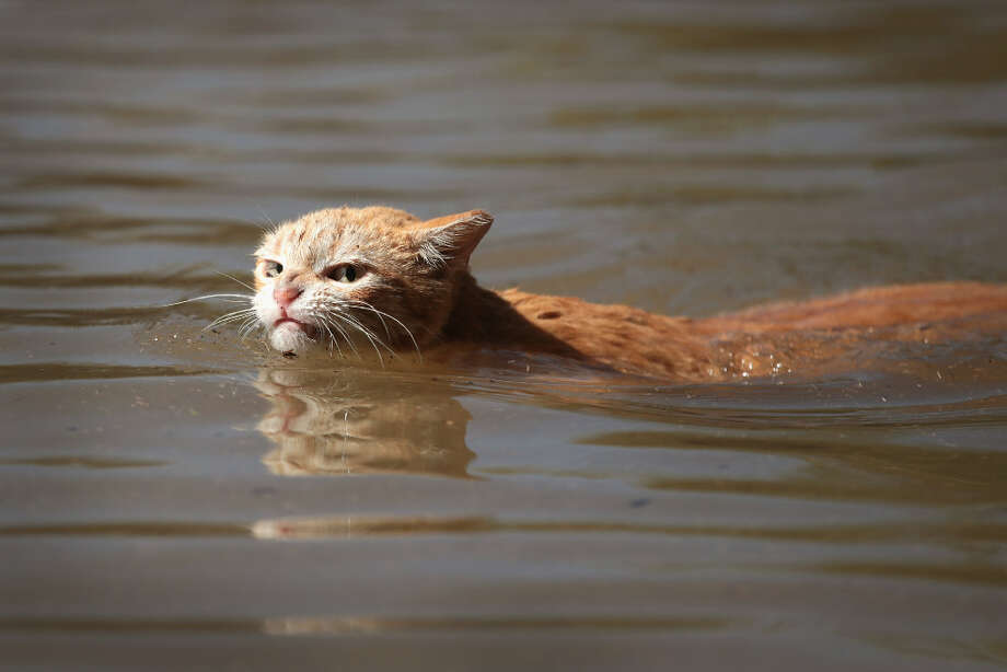 Following Hurricane Harvey, a Houston cat tries to find dry ground. Photo: Scott Olson, Getty Images
