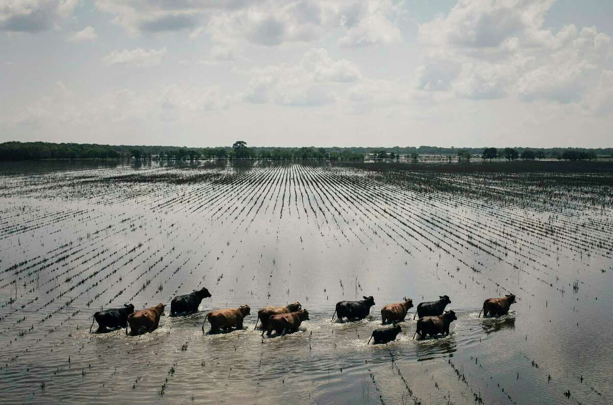 An aerial view of cattle running through floodwaters on ranch land south of Damon, Texas, Sept. 2, 2017. The devastating rain from Hurricane Harvey put thousands of animals at risk of drowning, but cowpokes in helicopters are helping drive them to higher ground. (Alyssa Schukar/The New York Times)