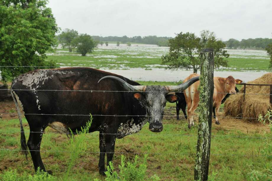 Cattle were out in pastures around Brenham between the deluges of Hurricane Harvey. Photo: Jann Whaley