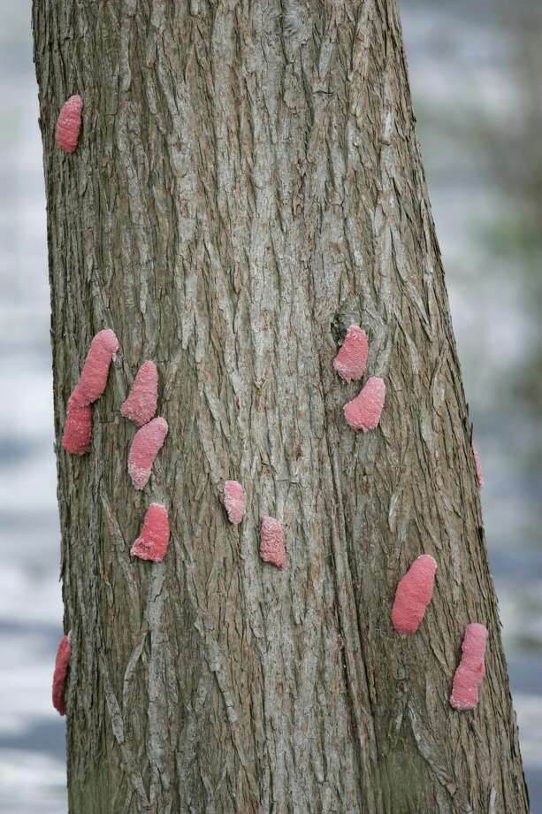 Apple snail eggs on a tree. PHOTOS: Wildlife we see a lot more of after a major Houston flood Photo: Arthur Morris/Getty Images/Visuals Unlimited